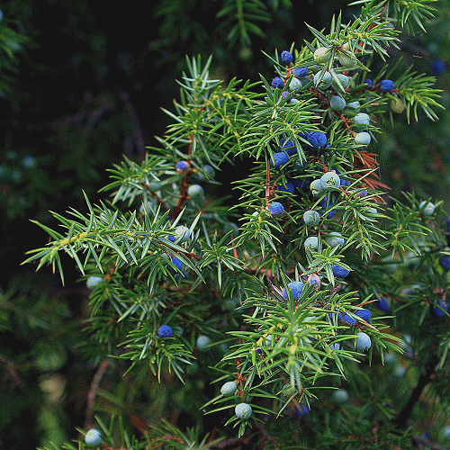 Jeneverbes Juniperus communis