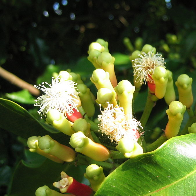 Kruidnagel Syzygium aromaticum on tree