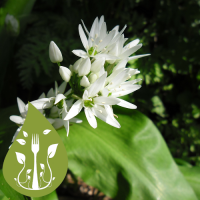 bears-garlic-allium-ursinum_35224186
