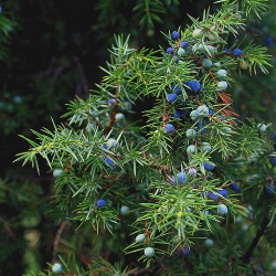 jeneverbes-juniperus_communis